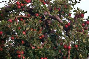 Hoeveel appels kan de boom dragen?